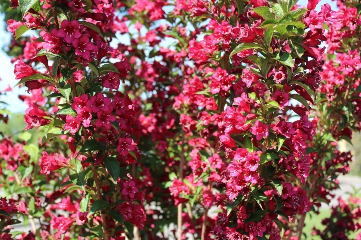Branch of flowering red weigela