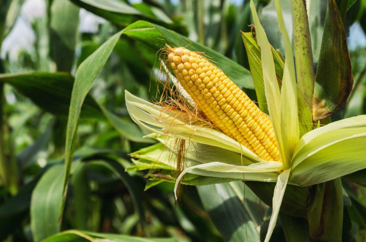 corn on stalk in the field