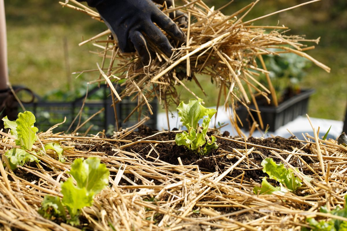 putting mulch to a lettuce plant for moisture