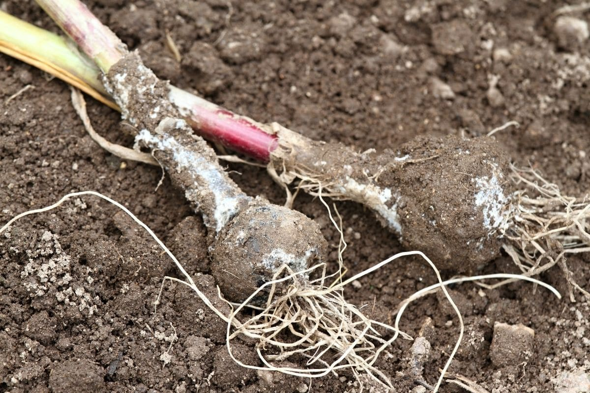 garlic in the ground with disease