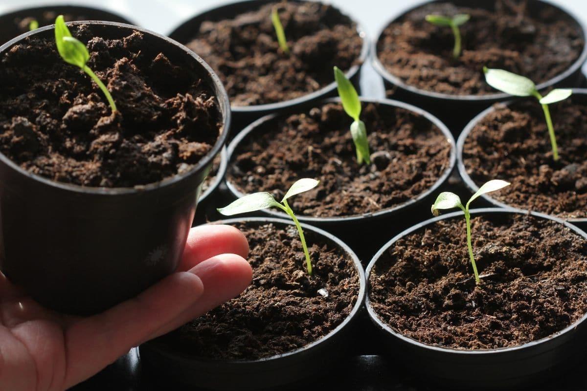 baby seedlings in a black plastic pot