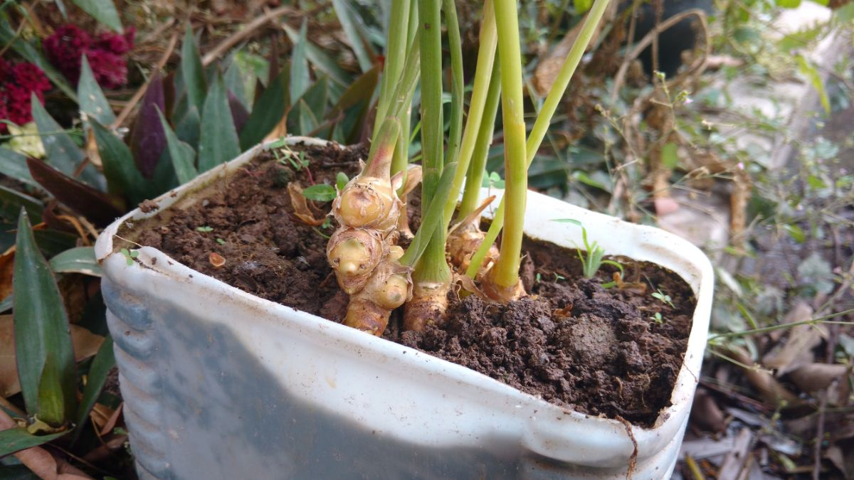 ginger growing in a white container
