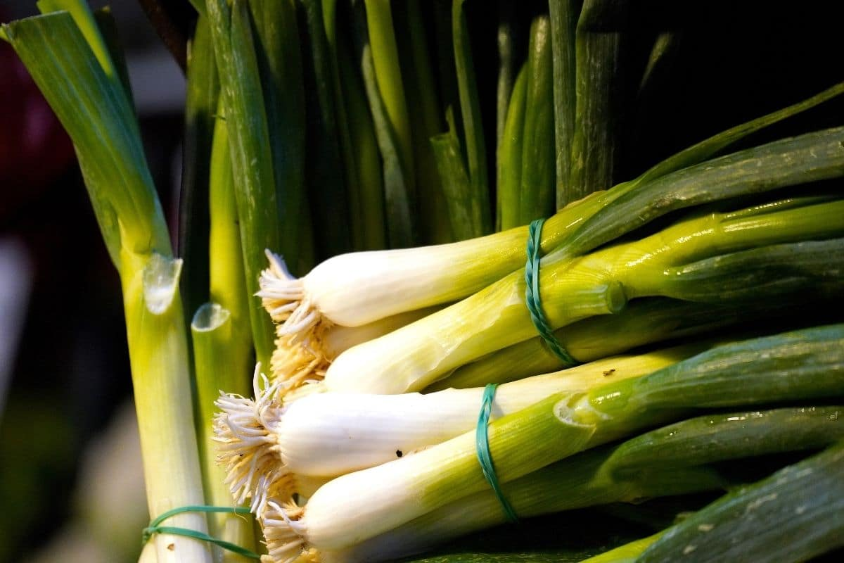 tied harvested scallions
