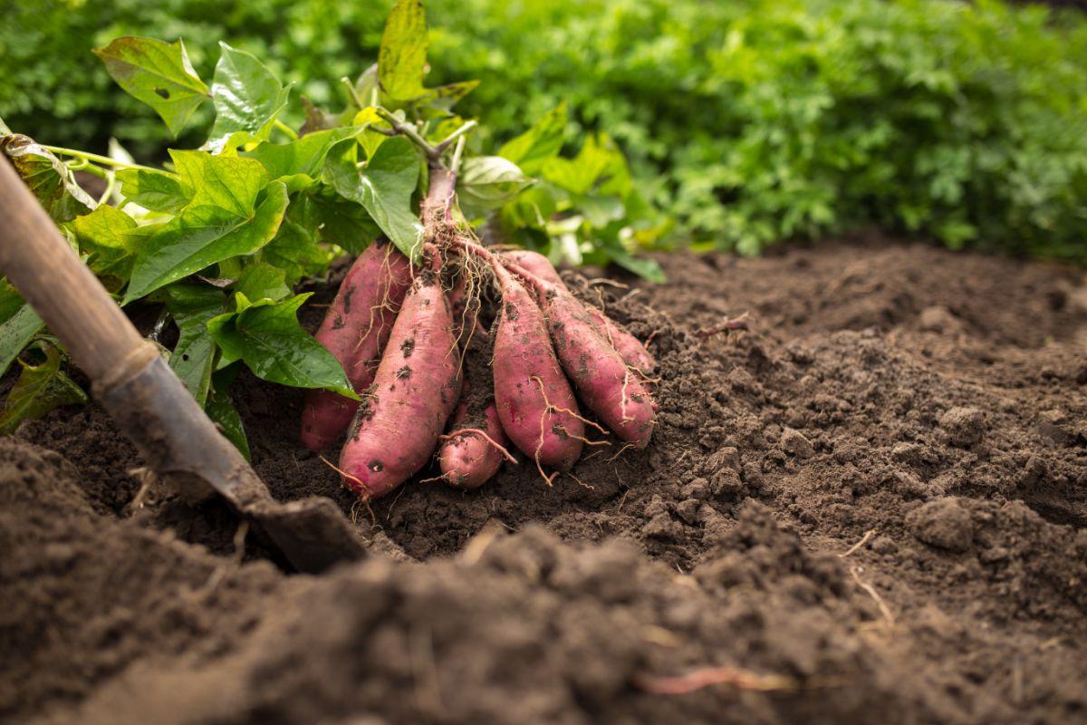 Harvesting sweet potatoes in the garden