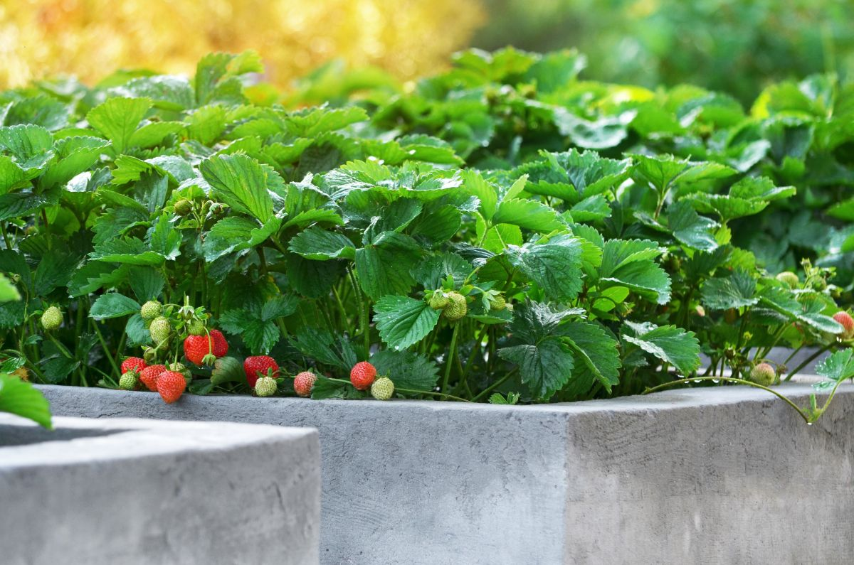 concre raised bed with strawberry fruits