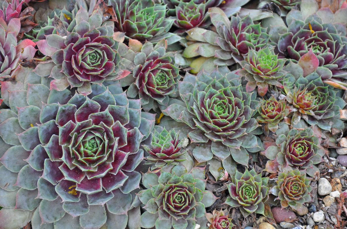 purlple and green hens and chicks succulent or plants