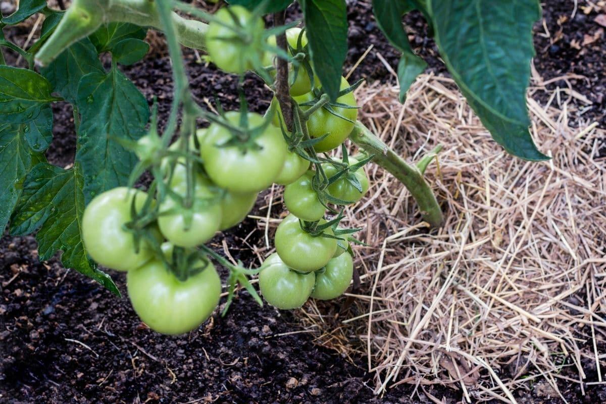 mulch in a tomato plant