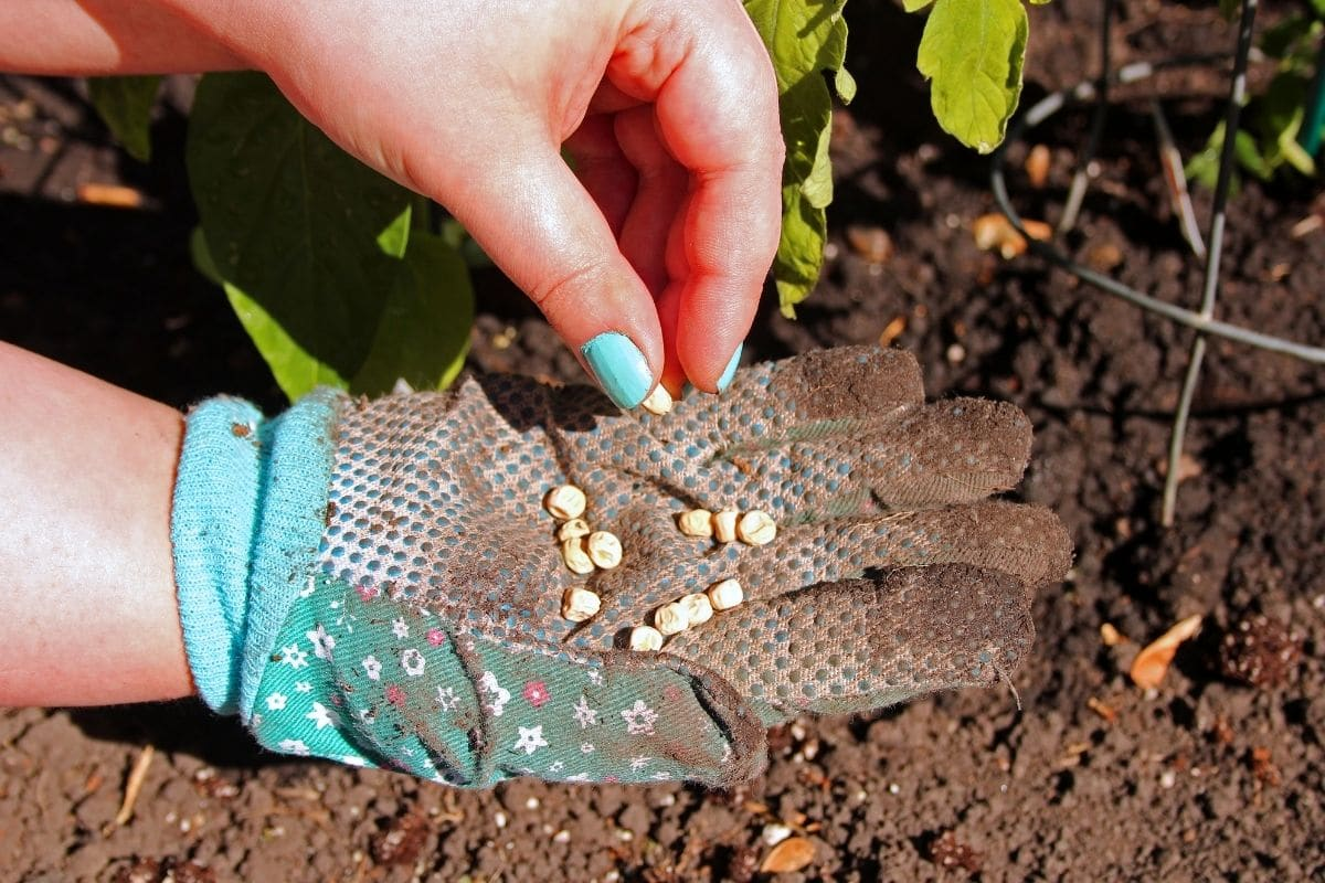 getting seeds from hands with gloves in the garden
