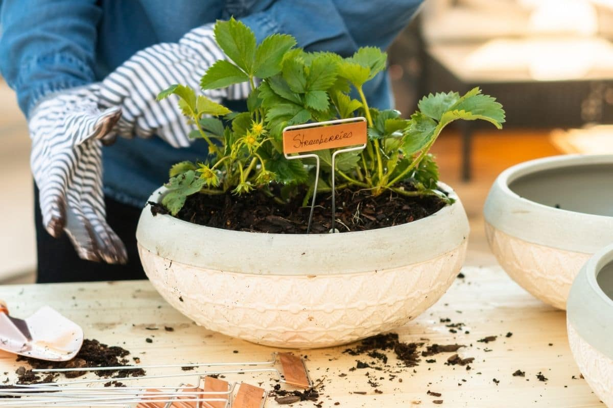 small strawberry seedling planted in a white pot