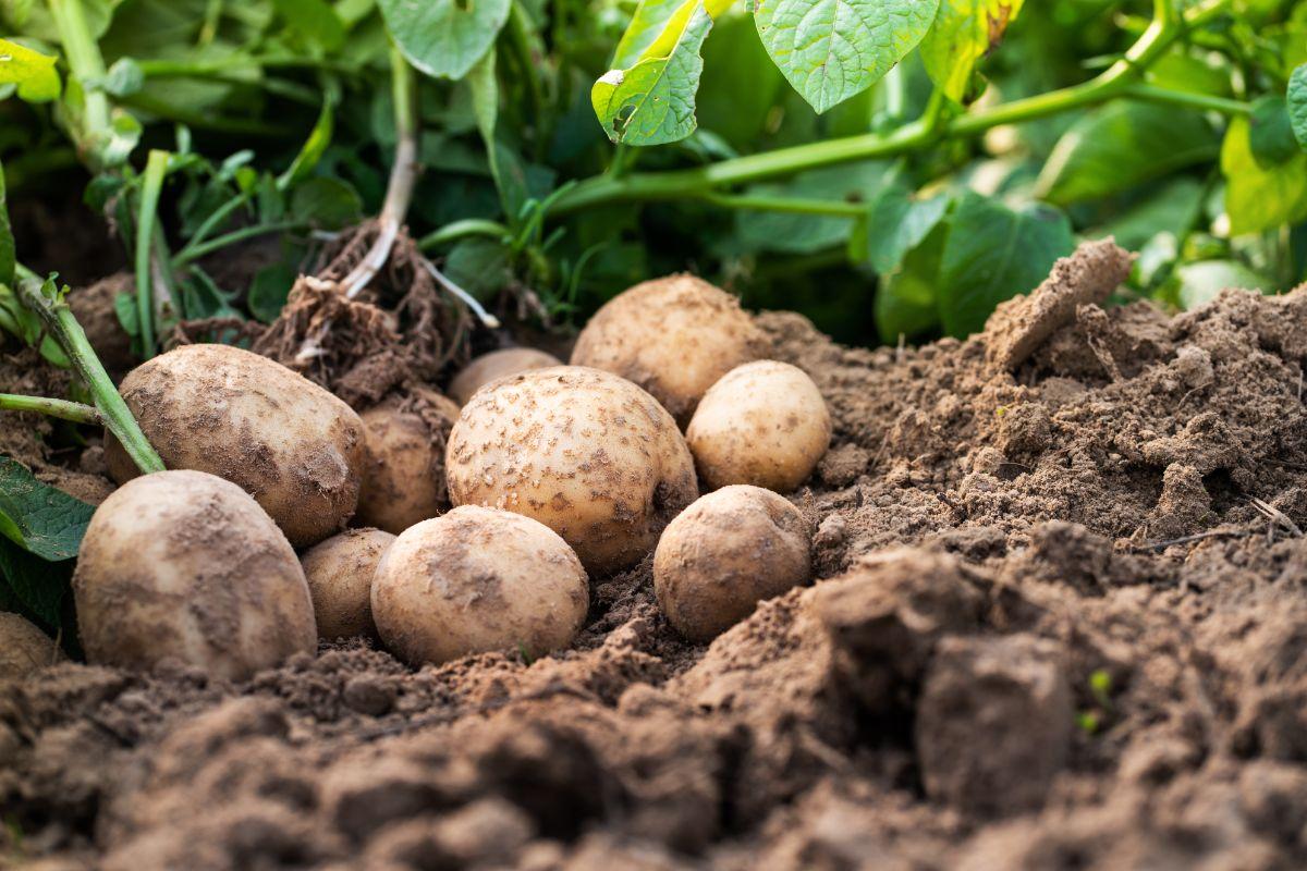 harvested potatoes in the garden soil