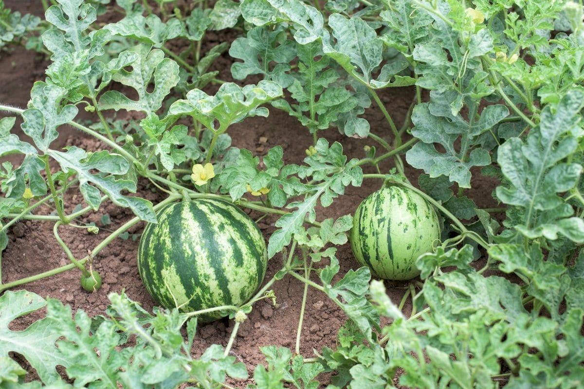growing watermelon in the garden