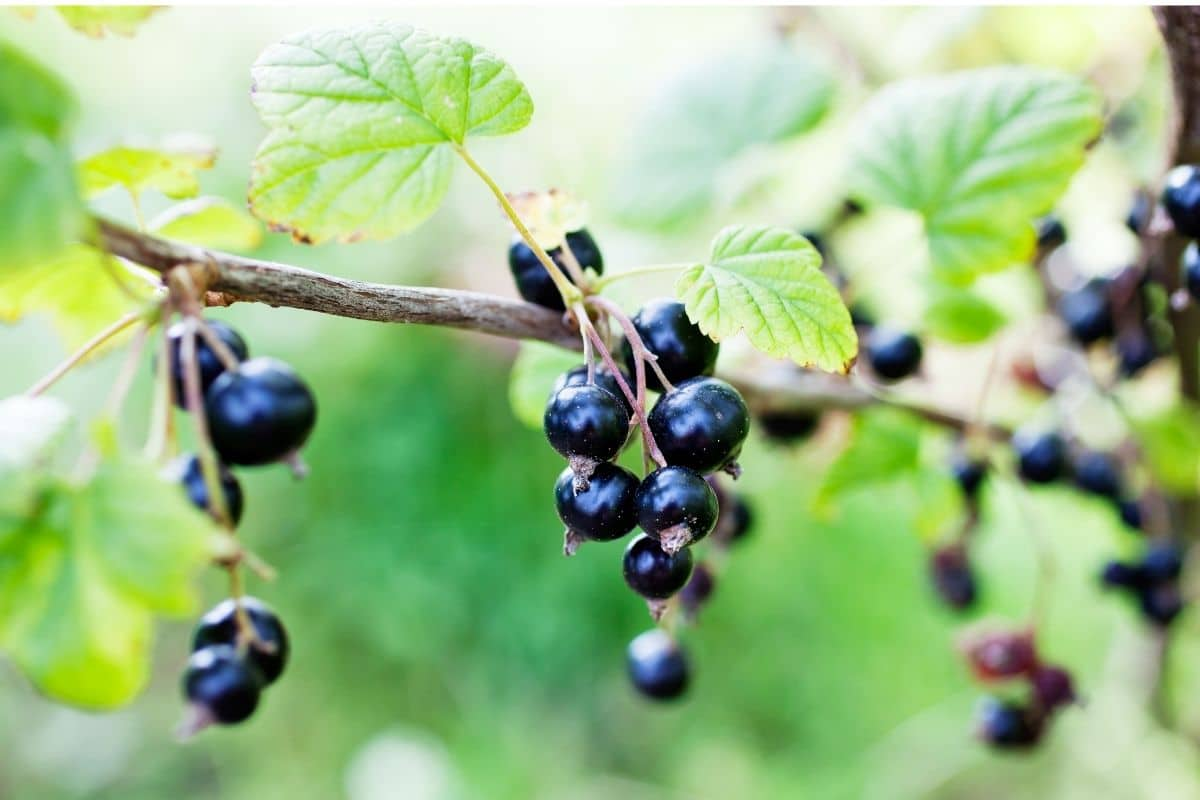 blackcurrants branch with ripe berries