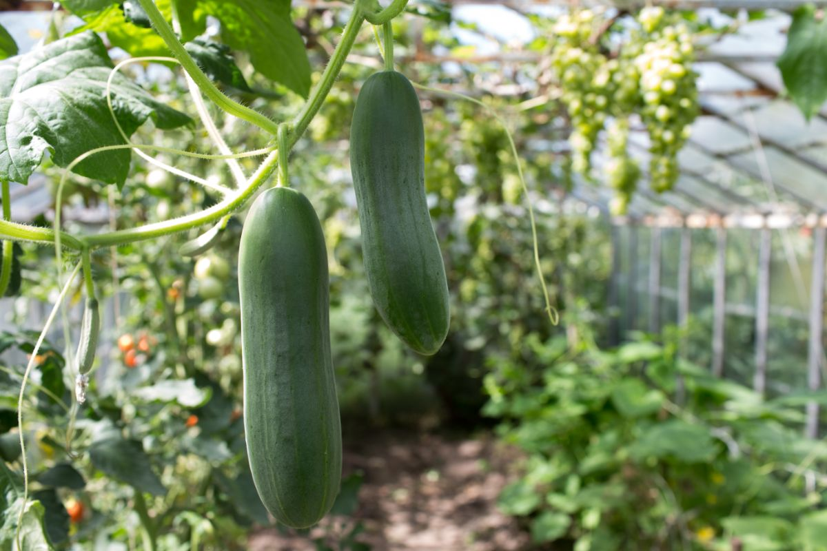 cucumbers hanging on a vegetable garden