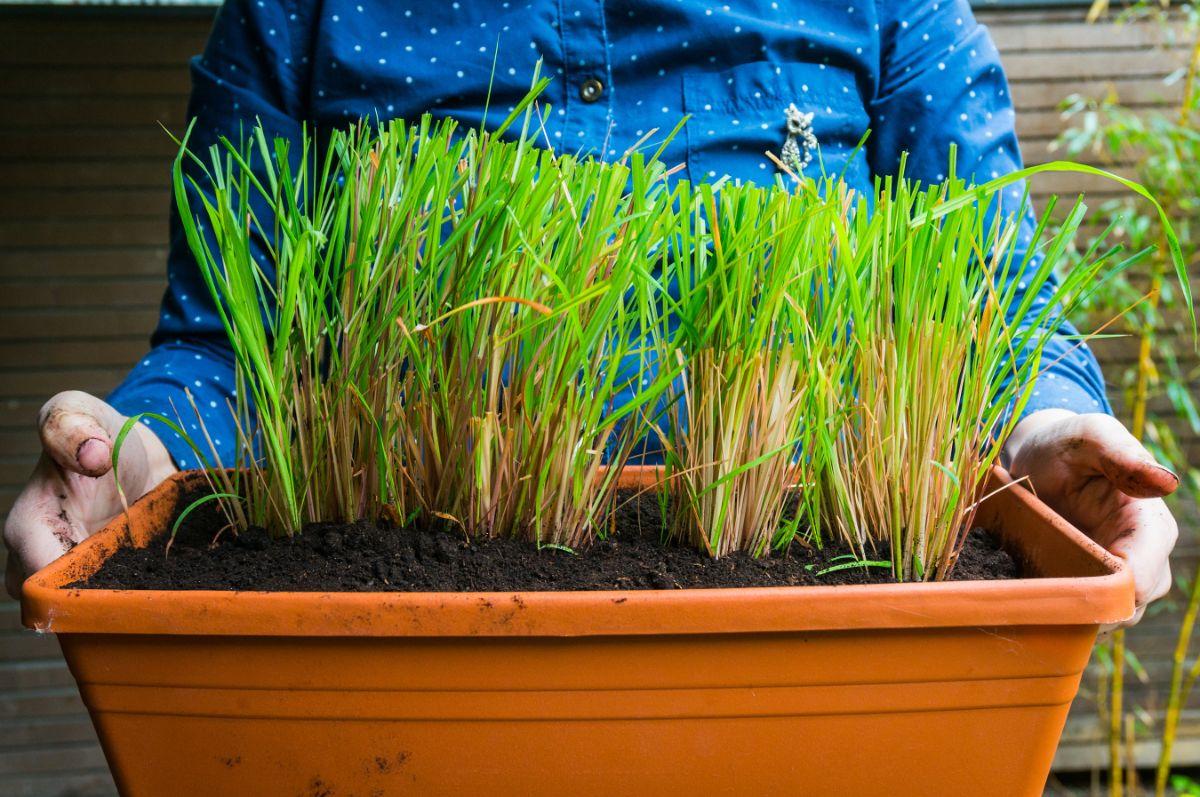 lemongrass planted in a flower pot