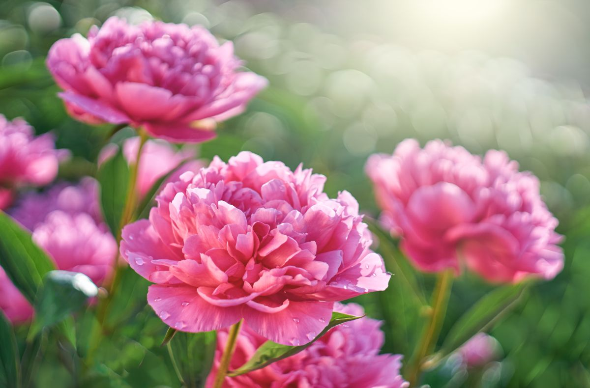 pink blooming peony under the sunlight