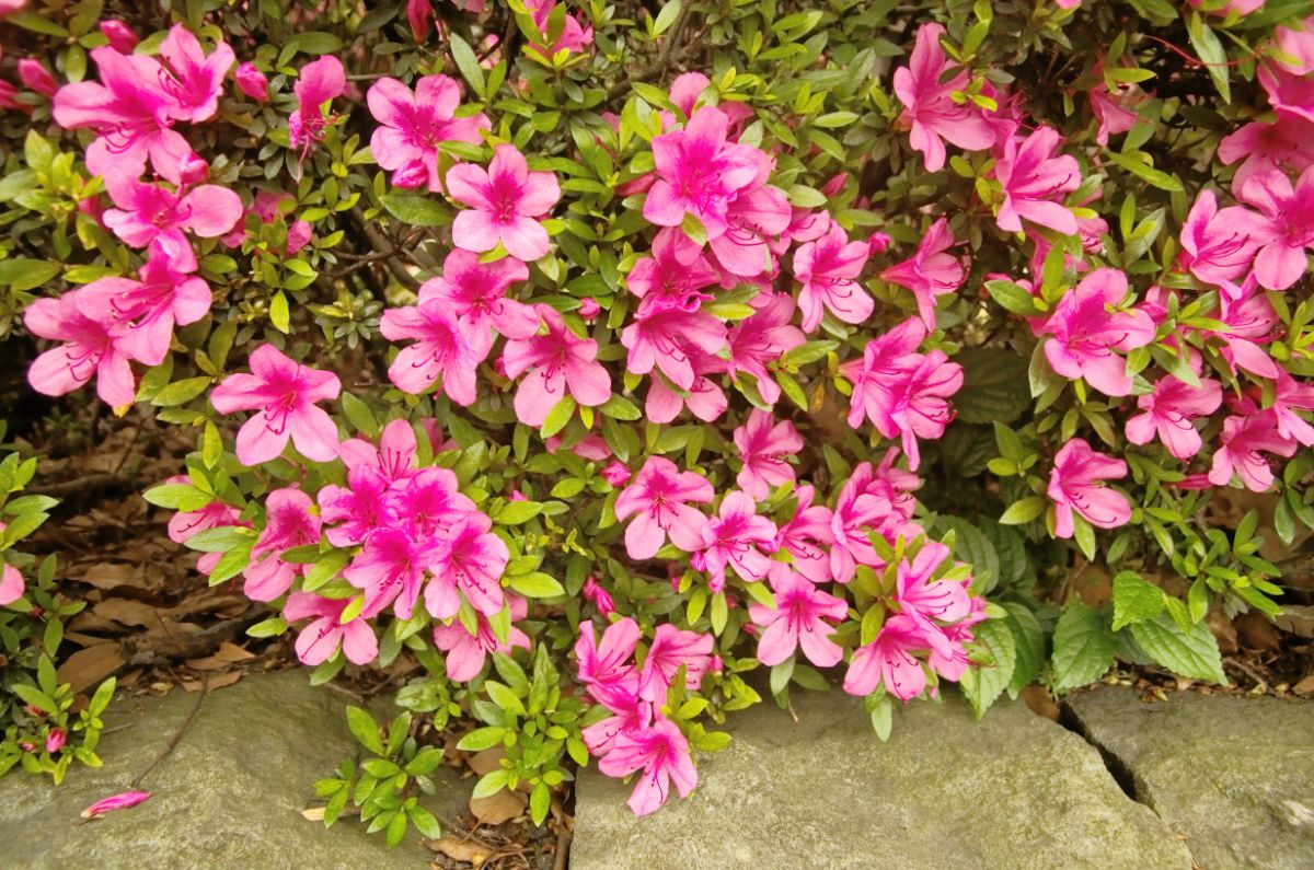 azalea flowers blooming in the garden