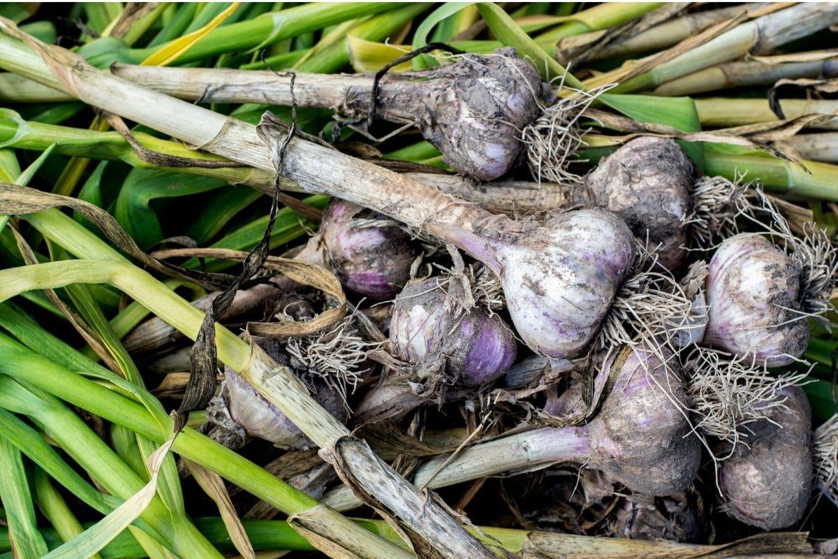 freshly harvested garlic from the garden