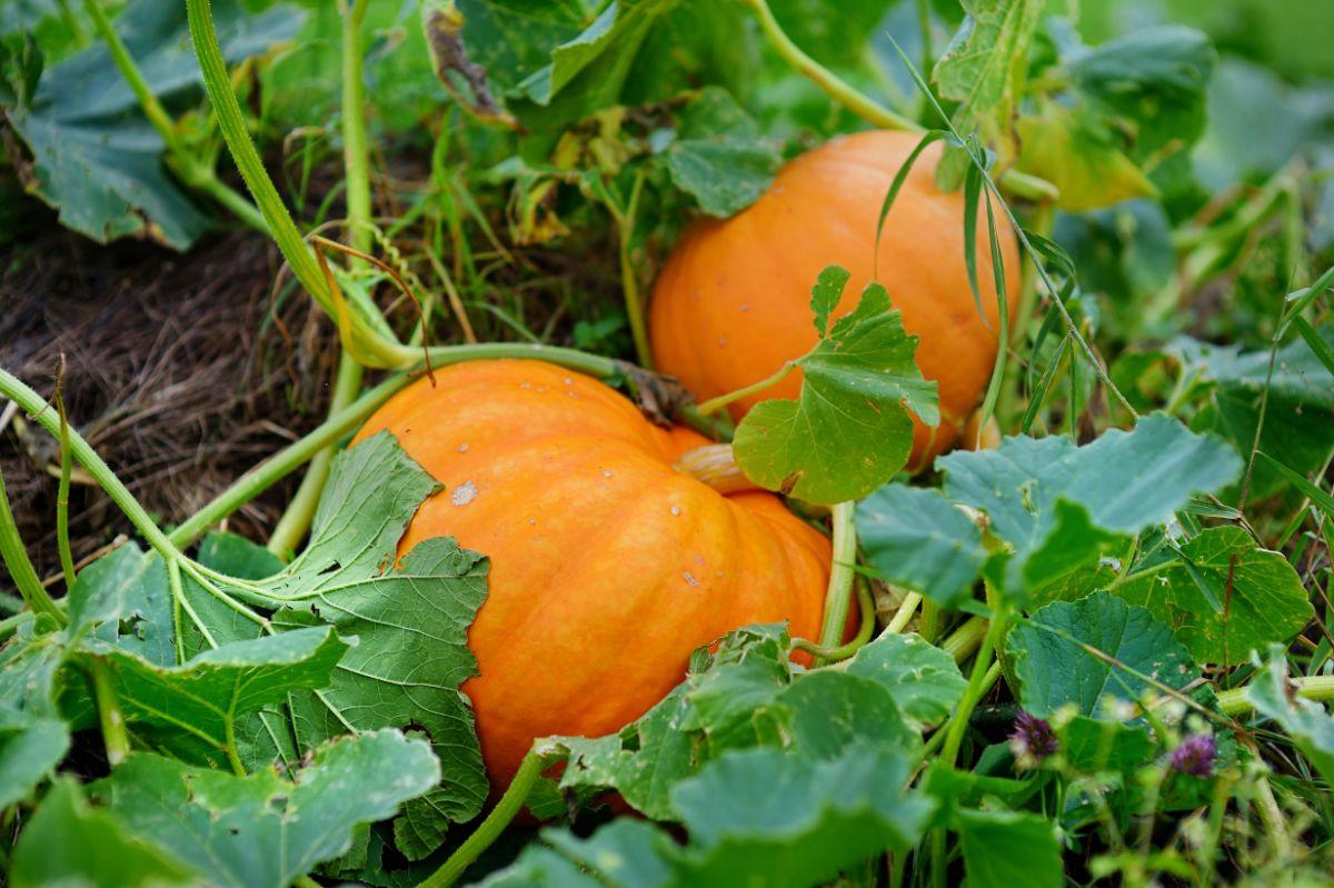 growing orange pumkins in the vegetable farm