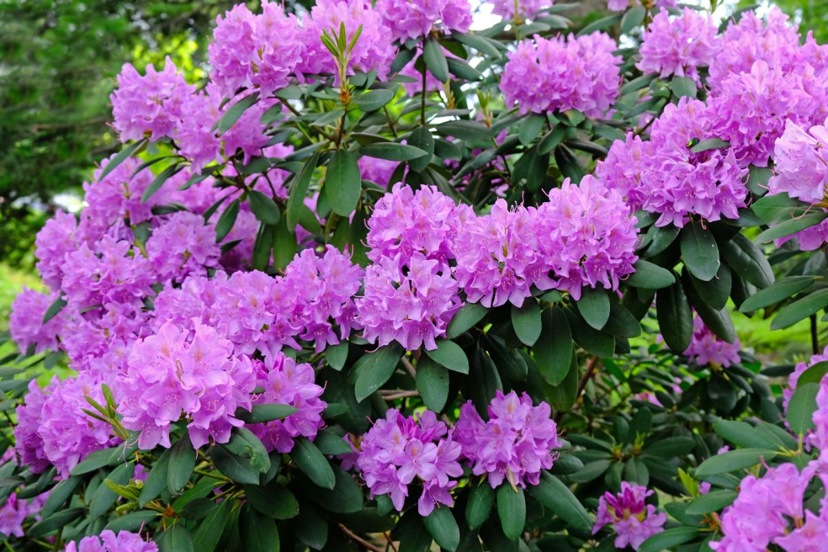 purple pink rhododendrons blooming in the garden