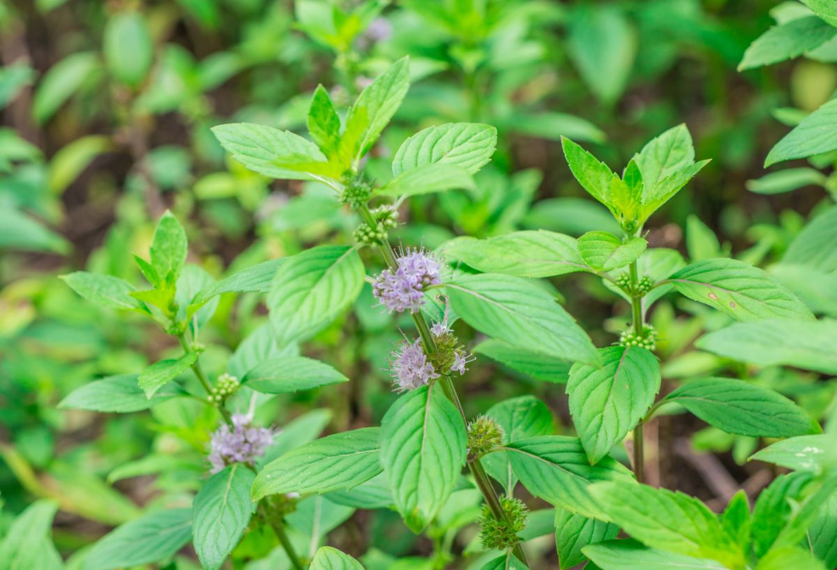 pennyroyal plant with flowers in a garden