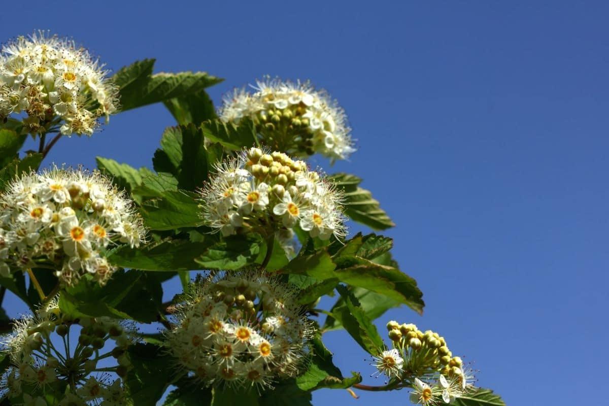 beautiful spirea flower in the blue sky