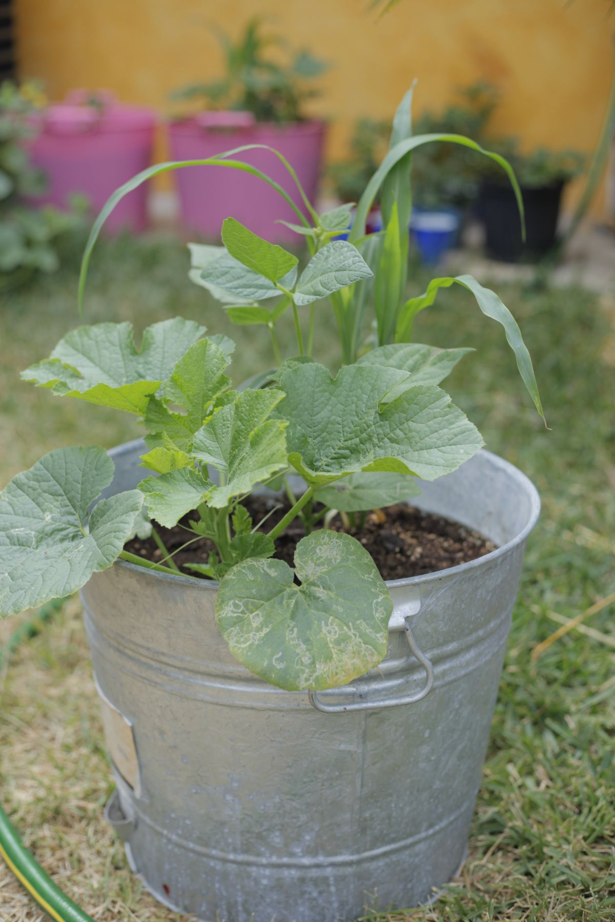 winter squash plant in a bucket