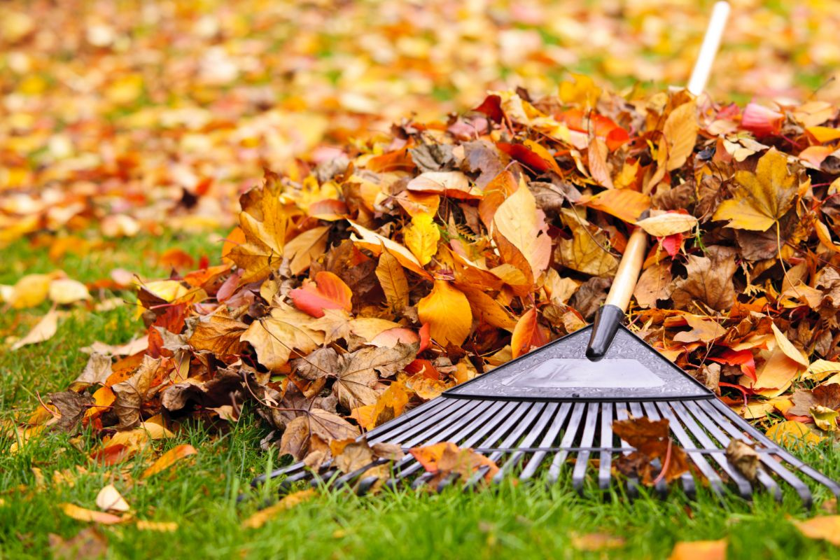 pile of leaves with fan rake