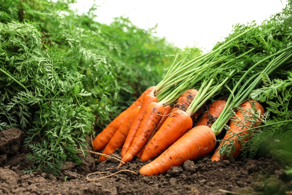 pile of carrots laying in a garden ground
