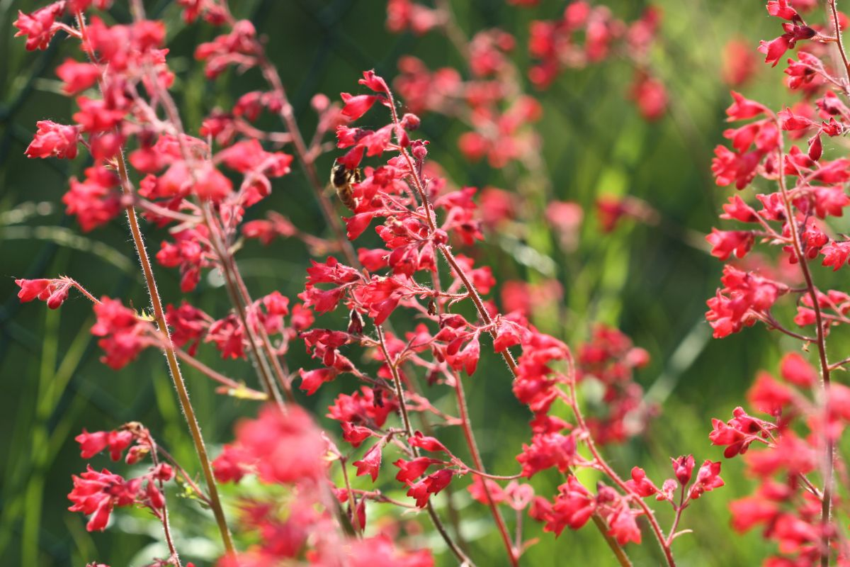 field of red coral bell flowers