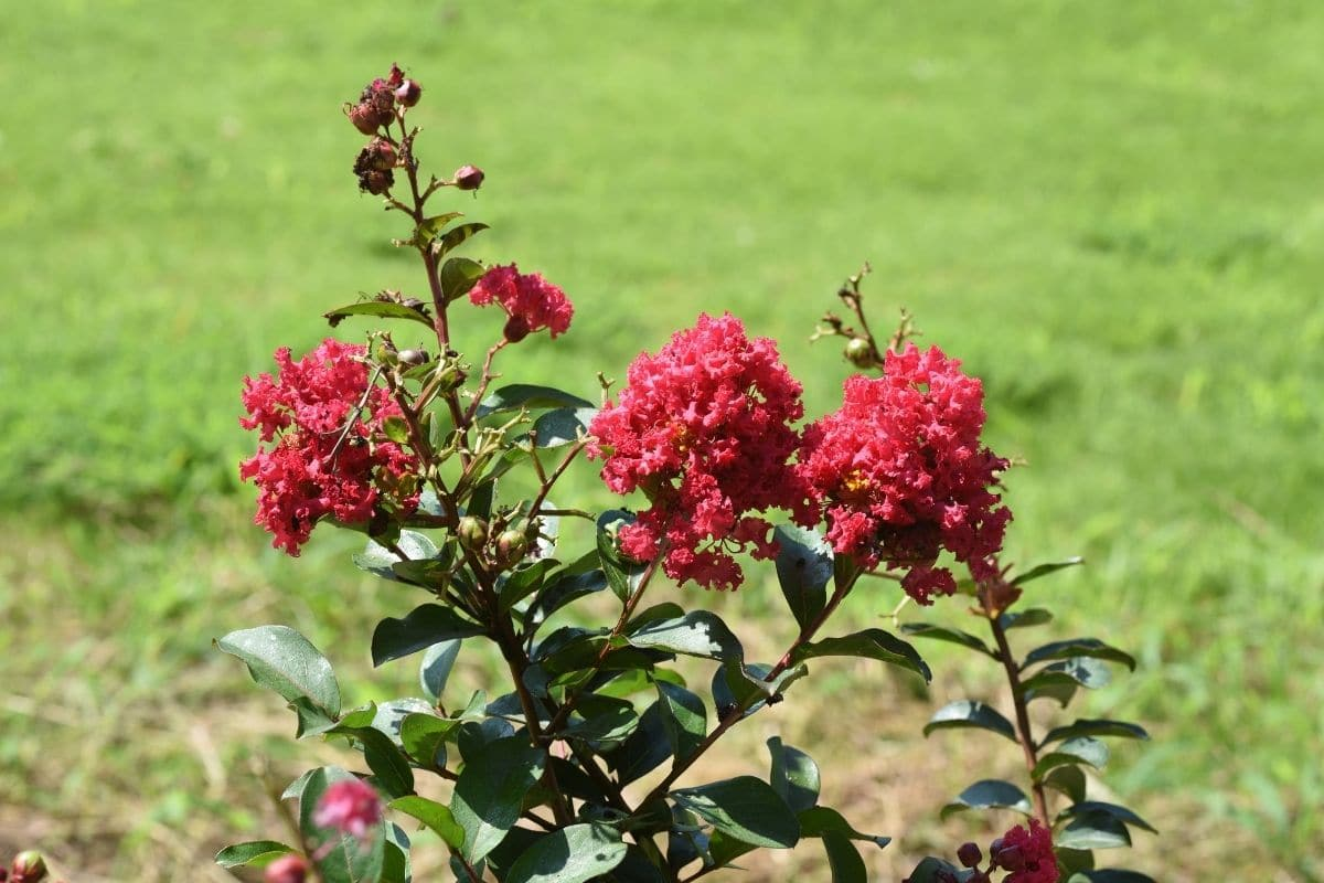 red crape myrtle in a green grass