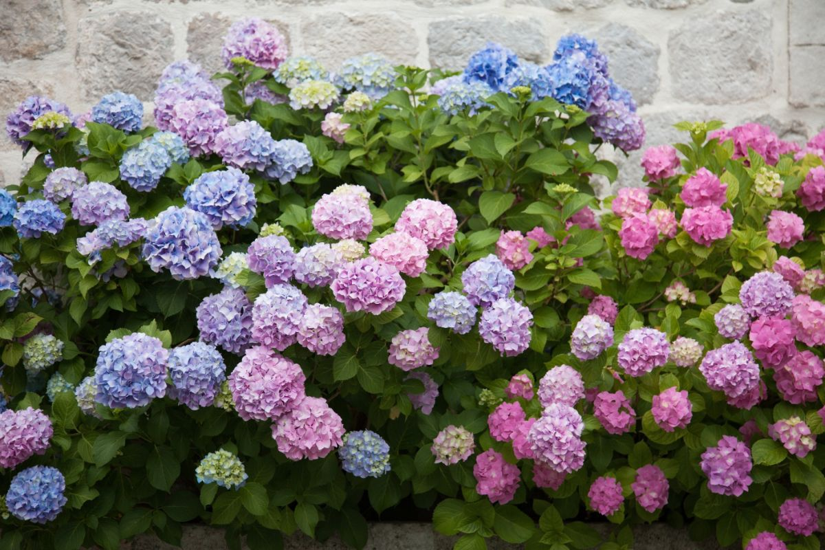 pink, blue, purple, lilac hydrangeas blooming in spring
