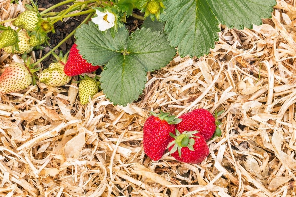 straw fertilizer with strawberries
