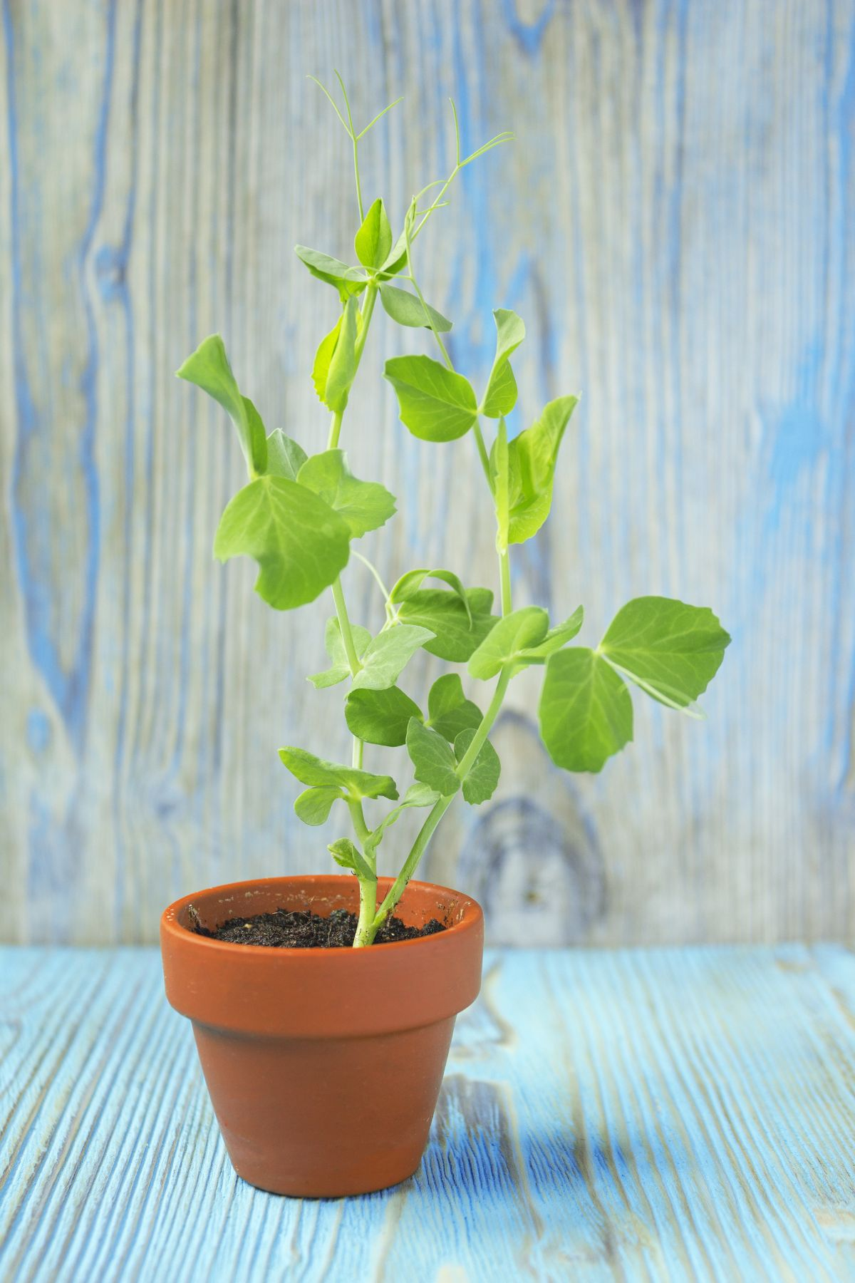 young plant of pea in a ceramic pot