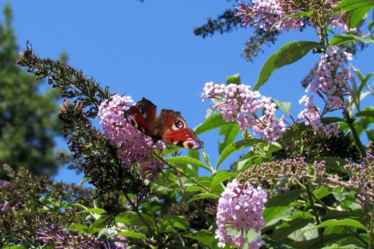 purple buddleja in the sky with butterfly