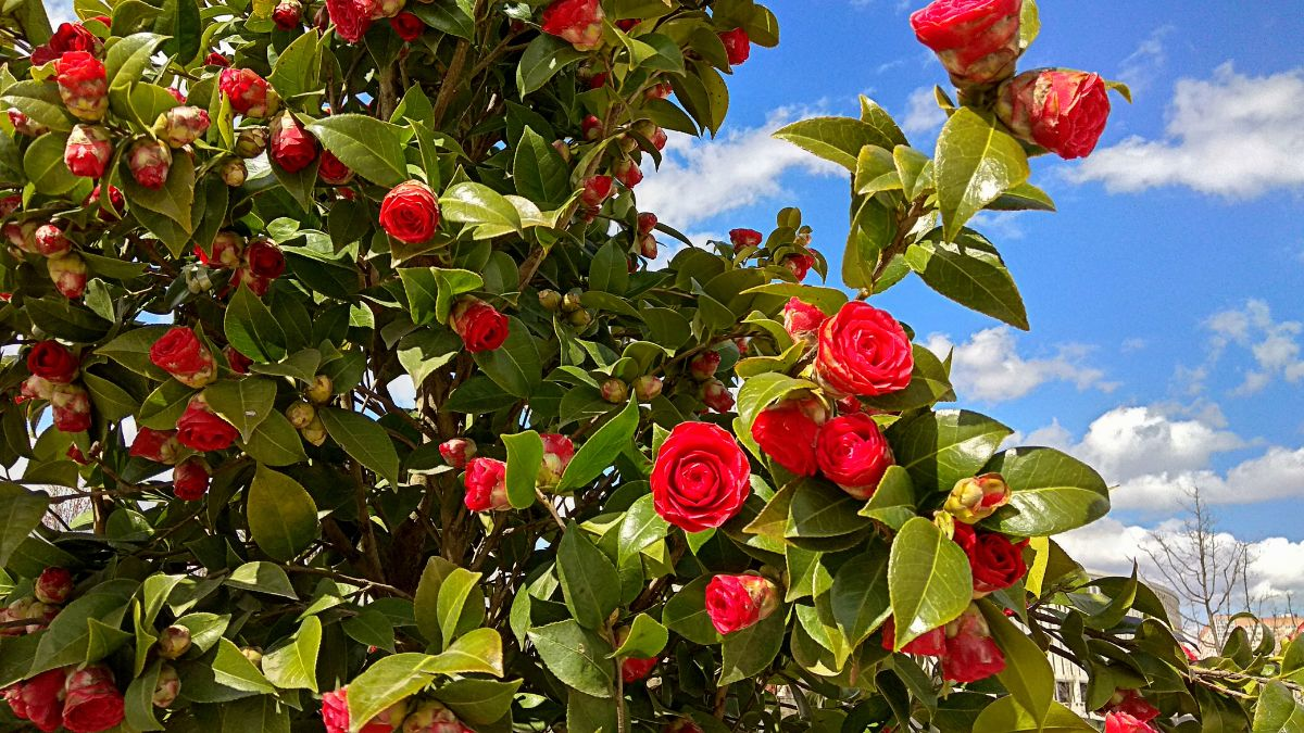 flowering camellia shrub against the blue sky and white clouds