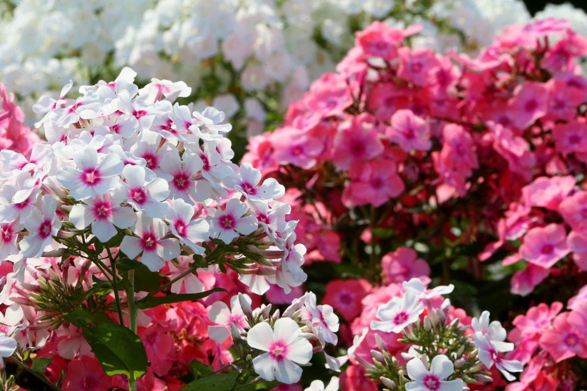 field of white and pink garden phlox flowers