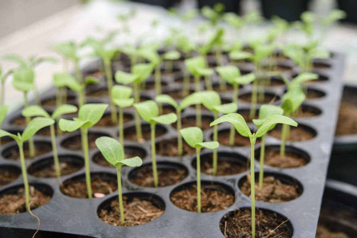young melon or sprouts ready to plant in the garden