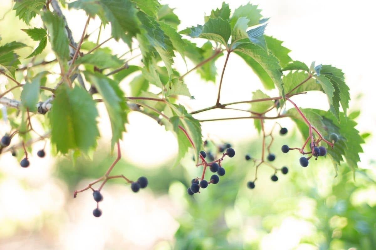 Branch of grape tree with small fruits