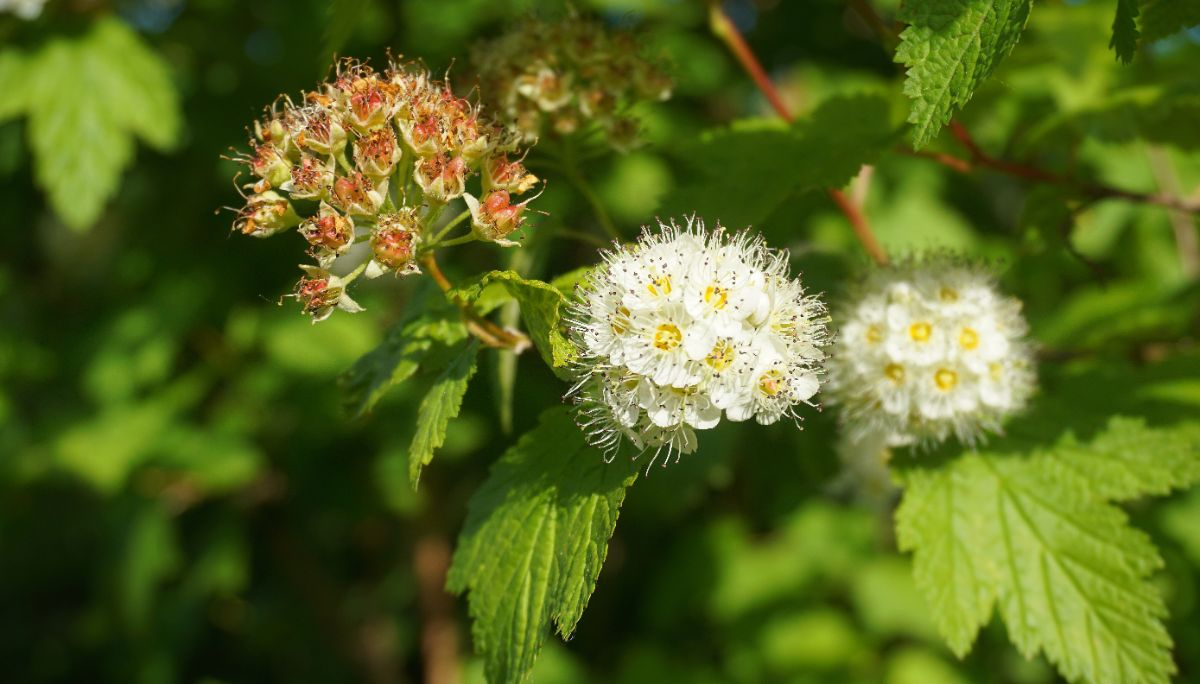white ninebark flower