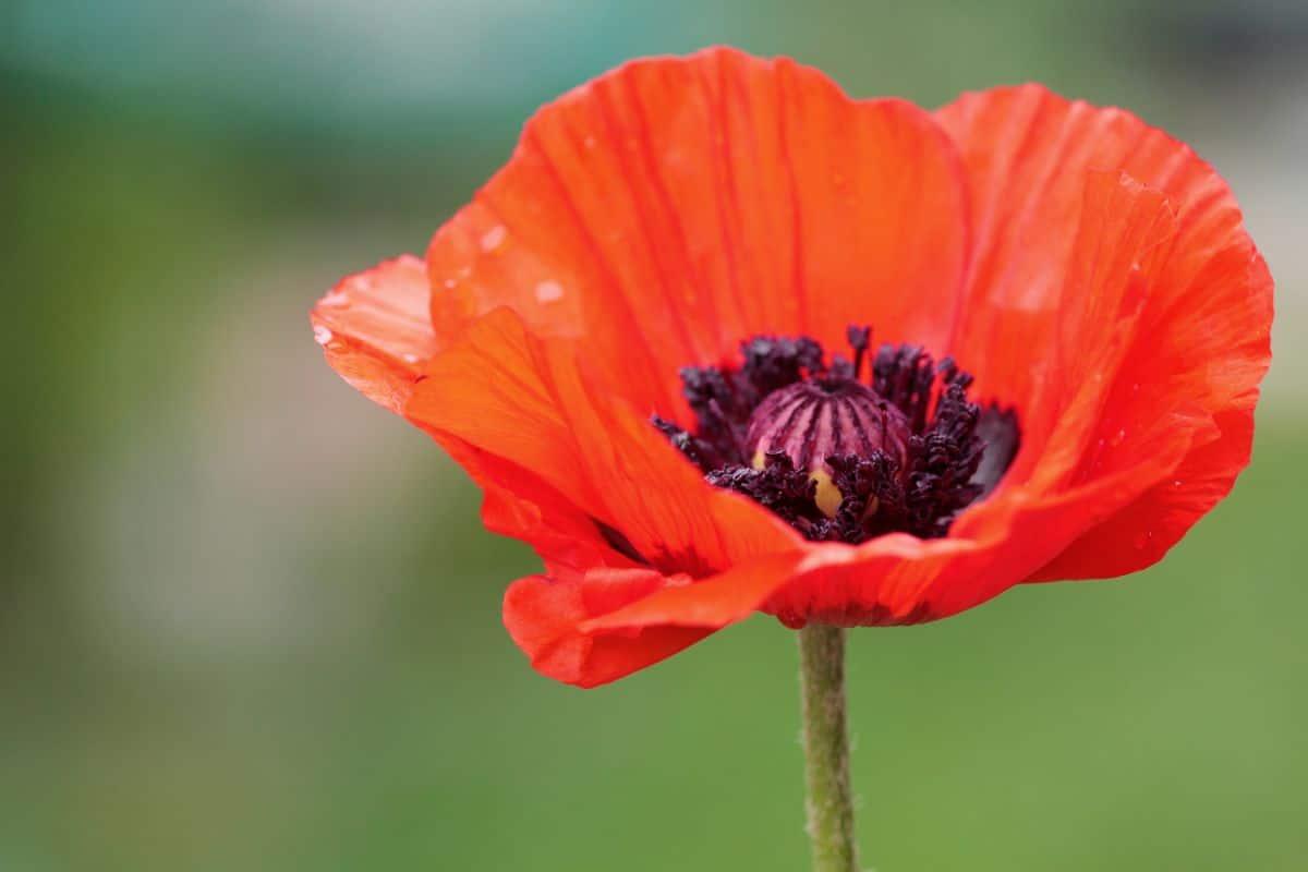 orange oriental poppy flower