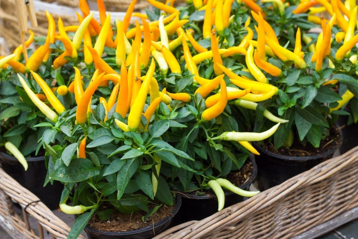 yellow pepper plants in a square basket