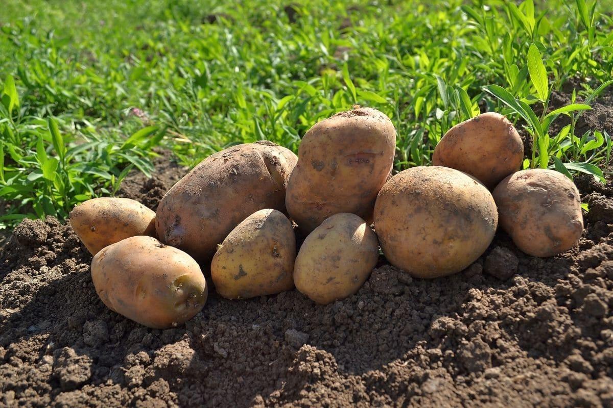 piled harvested potato in the garden