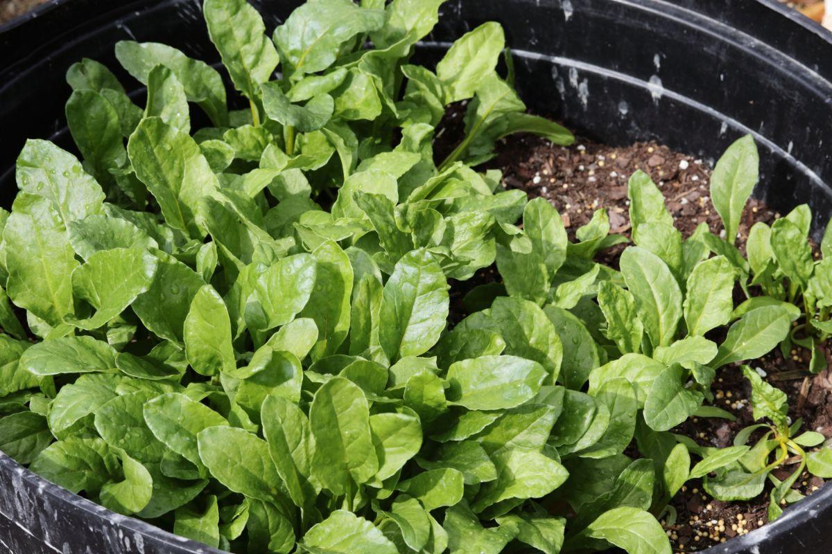 growing beet plants in a black pot