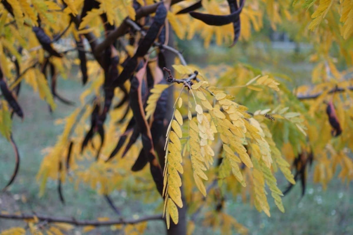 a branch of honey locust tree