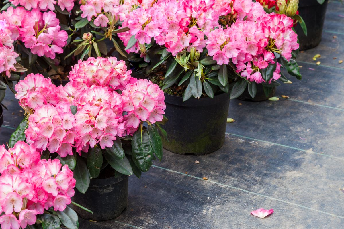 pink rhododendron flower in a black plastic pot