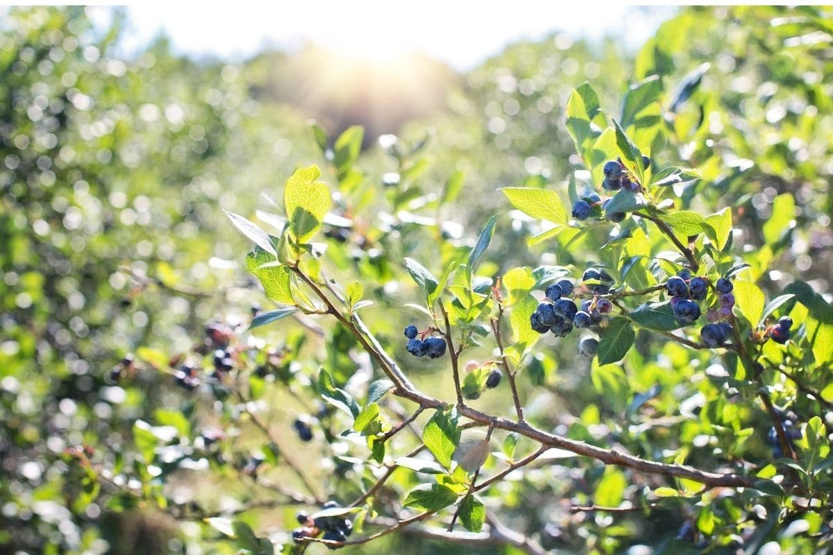 blueberry tree with fruits