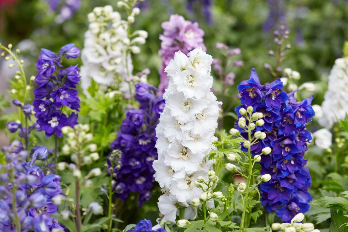 white, blue, and violet delphinium flowers