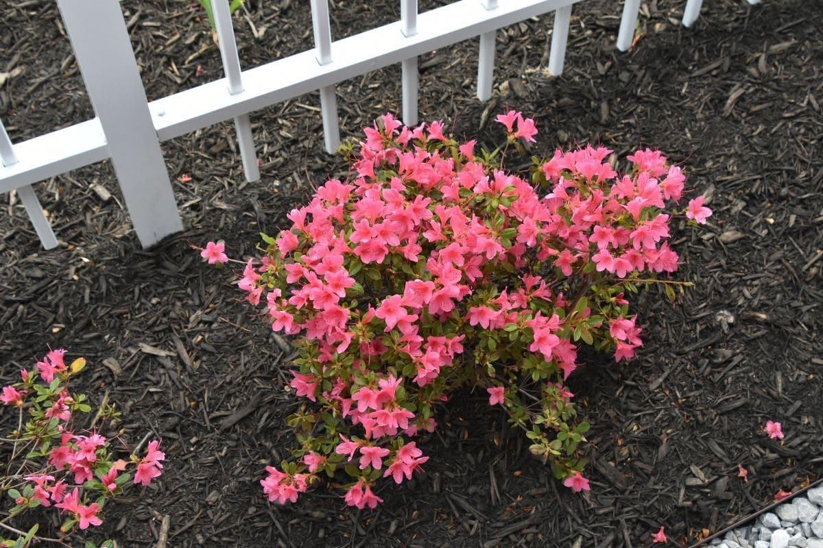 pink azalea flower in the garden