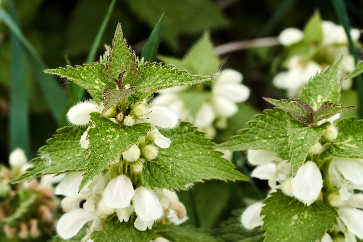 lamium or bee nettle with flowers