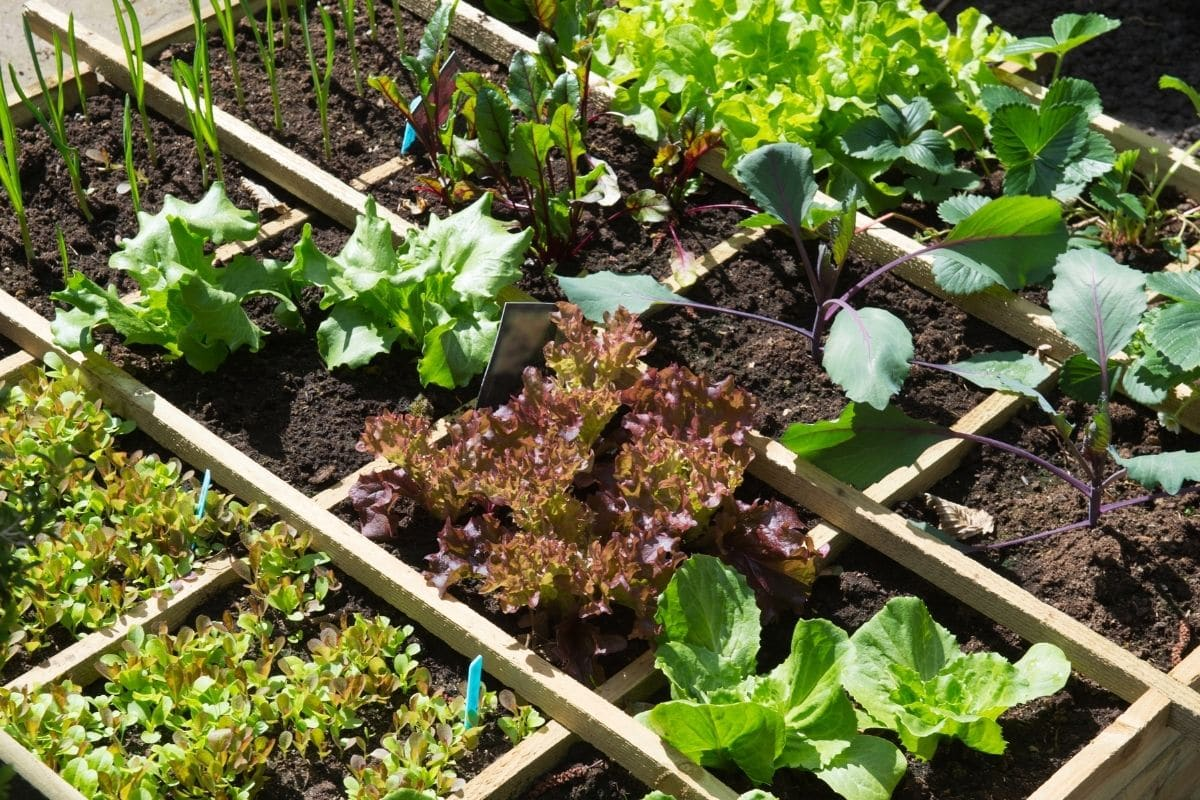 variety of vegetable plant in a wooden garden bed with compartments